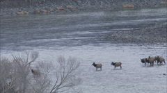 Medium shot of elk crossing the yellowstone river in winter Stock Footage