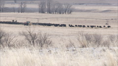 Herd of elk bed down near a herd of cattle - stock footage