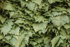 Group of Fresh Grape Leaves in Marketplace - stock photo