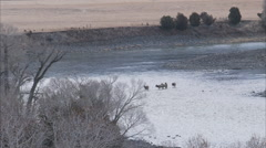 Herd of elk crosses the Yellowstone River in winter Stock Footage