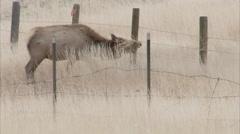 elk crossing under barbed wire  - stock footage