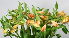 Time-lapse of alstroemeria (lily) blossom taken on grey background Stock Footage