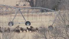 Herd of elk beds down on ranch property during winter range season Stock Footage