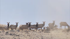 Herd of elk forages on hillside during winter range seaon Stock Footage