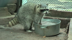 Raccoon rinses food in a basin Stock Footage