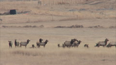 Elk bedded on ranch property wide shot Stock Footage