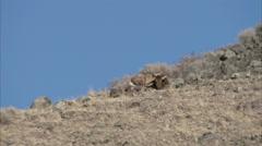 Lone elk on ranch hillside Stock Footage