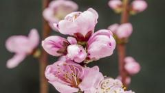 Pink peach flower blooming Stock Footage