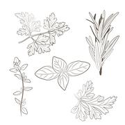 Vector fresh parsley, thyme, rosemary, and basil herbs. Aromatic leaves used  - stock illustration