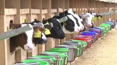 Calf on the farm Stock Footage