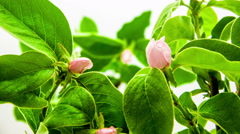 Quince Flower Blossoming Stock Footage