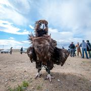 Specially trained eagle for hunting in mongolian desert near Ulaan-Baator. Stock Photos