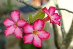 beautiful red Adenium flowers - stock photo