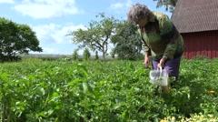 Senior gardener woman pick colorado beetle larva from potato plants. 4K Stock Footage
