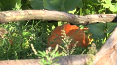 Pumpkin greenhouse garden Stock Footage