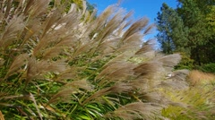 Chinese silver grass in wind Stock Footage