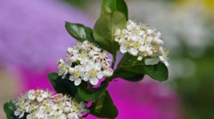 Chokeberries flower Stock Footage