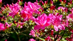 Azalea in pink Stock Footage