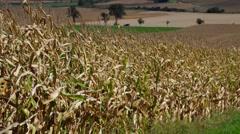 corn field in fall - stock footage