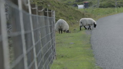 Sheep on the road on the Isle of Harris, Scotland Stock Footage