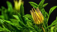 Gerbera Flower Blossom Timelapse Stock Footage