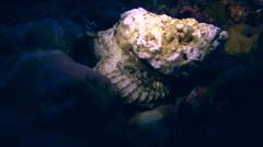 Devil or Humpback scorpionfish (Scorpaenopsis diabolus) Stock Footage