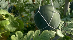 Cantaloupe Melon and Watermelon Growing in Greenhouse Farm Garden Stock Footage