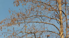 Plane tree and seeds in Autumn, Stock Footage