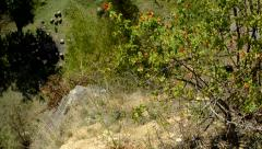View of the red berries bush on the hill - camera looks below on the stones  Stock Footage