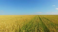 Rue ears on field at summer sunny day. Aerial view Stock Footage