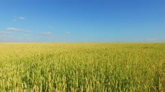 Rue field full of ears at summer sunny day. Aerial view Stock Footage