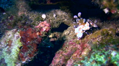 Harlequin shrimp (Hymenocera elegans) walking Stock Footage