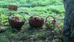 Three wicker baskets full of apples by the apple tree Stock Footage