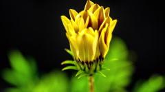 Gerbera Flower Blossom Timelapse - stock footage