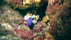 Harlequin shrimp (Hymenocera elegans) with sea star leg Stock Footage