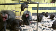 Group of Baboons in cage at zoo 4k Stock Footage