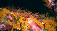 Durban hinge-beak shrimp (Rhynchocinetes Durbanensis) Stock Footage