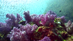 Soft corals with school of fishes in the background - stock footage