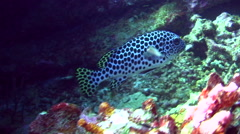 Harlequin sweetlips (Plectorhinchus chaetodonoides) young adult Stock Footage