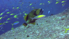 Titan triggerfish (Balistoides viridescens) hovering with school of fishes in Stock Footage