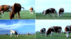 Cows grazing on pasture meadow 4K collage Stock Footage