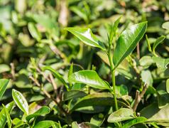 Green tea leaves in a tea plantation - stock photo