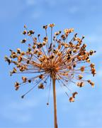 Dried inflorescence of allium - stock photo