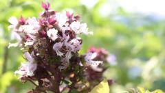 Closeup shot of Sweet Basil flower Stock Footage