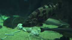 Groupers of the family Serranidae Stock Footage