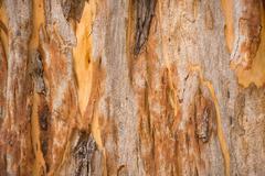 Nature backdrop eucalyptus tree bark - stock photo