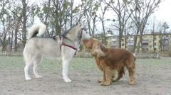 Siberian Husky plays with Spaniel. Stock Footage