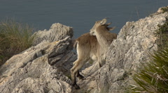 Mountain goat on the rocks Stock Footage
