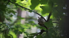 Squirrel eating nuts on a tree. Close-up Stock Footage