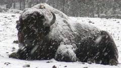 American Field Buffalo Stock Footage